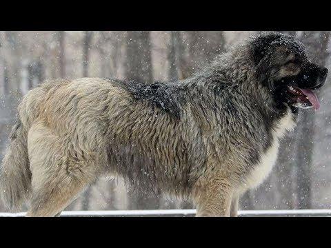 Кавказская овчарка – собака не для неженок