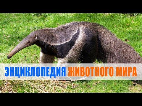 Муравьед | Энциклопедия животного мира