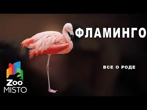 Фламинго - Все о роде птиц   Вид птицы фламинго