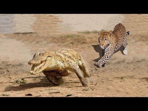 ЛЕОПАРД В ДЕЛЕ! Леопард против крокодила, гиены, антилопы...