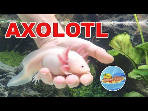 Аксолотль ручной. Аквариум для нового питомца | Axolotl in aquarium.