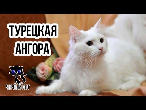 ✔ Турецкая ангора - редкая кошка древнейшего происхождения