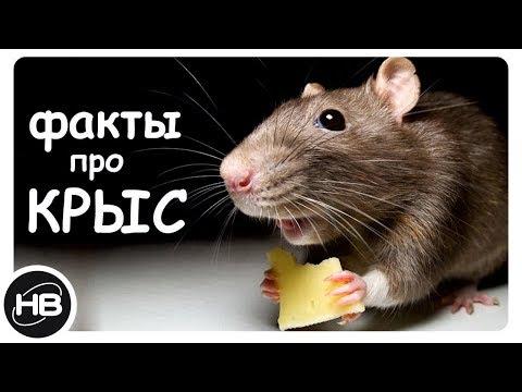 10 Самых Интересных Фактов о Крысах. Факты про Крыс