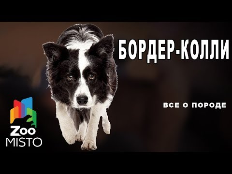 Бордер-колли - Все о породе собаки | Собака породы бордер-колли