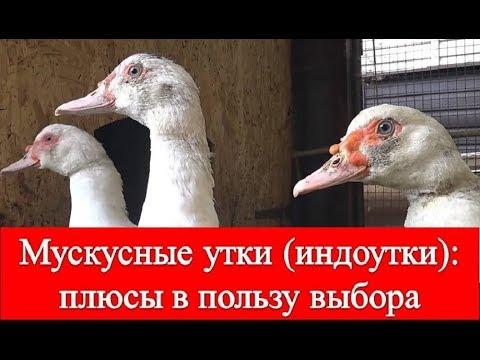 Мускусные утки (Индоутки): плюсы в пользу выбора