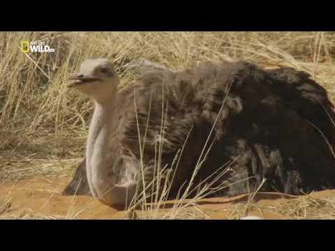 Жизнь африканского страуса Документальный фильм