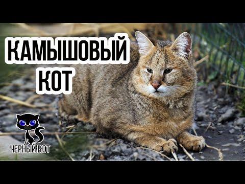✔ Камышовый кот – редкий ночной хищник. Где обитает камышовый кот?