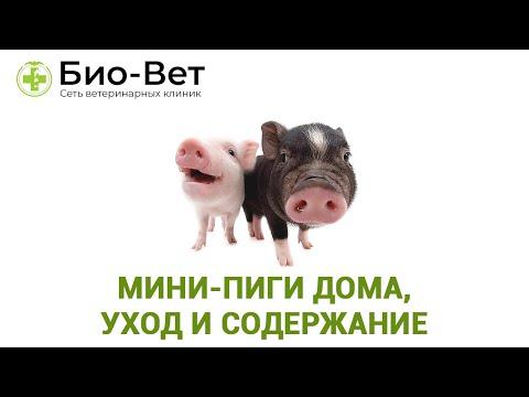 МИНИ-ПИГИ ДОМА - Уход и Содержание // Сеть Ветклиник БИО-ВЕТ