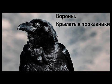 Вороны. Крылатые проказники