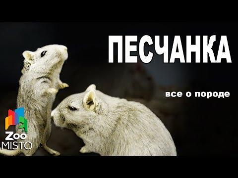 Песчанка - Все о виде грызуна   Вид грызуна - Песчанка