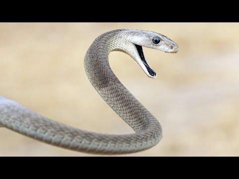 Чёрная мамба: самая опасная змея в мире! Интересные факты о черной мамбе.