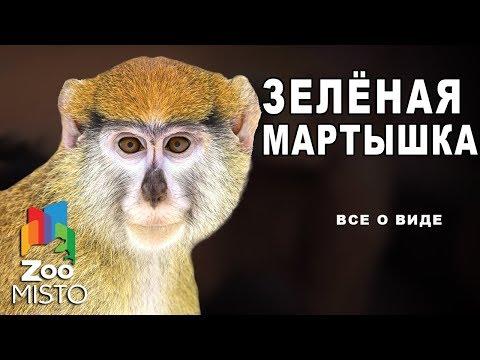 Зелёные мартышка - Все о приматах   Вид обезьян зелёная мартышка