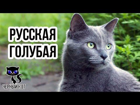 ✔ Русская голубая кошка – короткошерстная порода голубого окраса с зелеными глазами