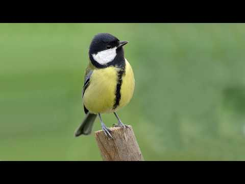 Голоса птиц Как поёт Синица большая Parus major