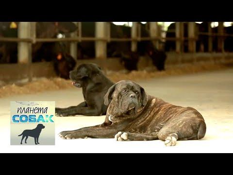 Кане-корсо. Планета собак 🌏 Моя Планета
