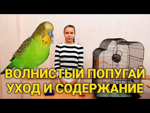 Волнистый попугай - уход и содержание. Как ухаживать за волнистыми попугаями?