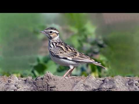 Голоса птиц Как поёт Жаворонок лесной Lullula arborea