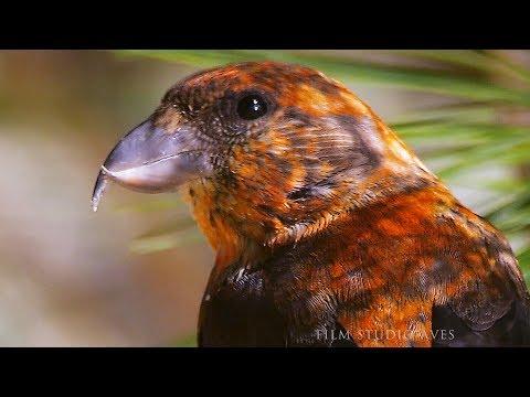 Клёст-еловик (Loxia curvirostra) Common Crossbill - в поисках гастролитов | Film Studio Aves