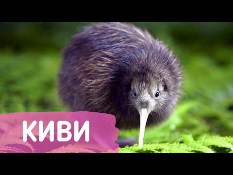 Киви - удивительная птица уникум без хвоста и крыльев прямиком из Новой Зеландии