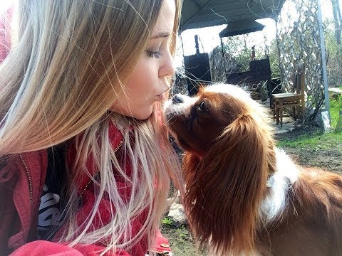 VLOG: Как я ухаживаю за собакой породы Кавалер Кинг Чарльз спаниель.