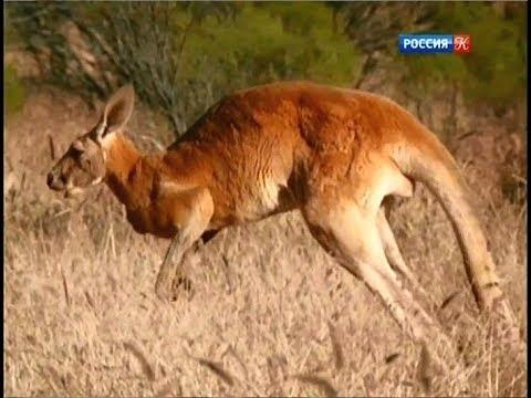 Король кенгуру. Большой рыжий кенгуру.