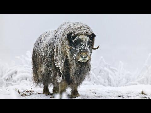 ОВЦЕБЫК- Древнее животное, ПЕРЕЖИВШЕЕ Ледниковый период!