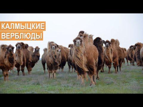 Зачем нужны верблюды? Разведение и содержание верблюдов. Племенной завод Кировский.