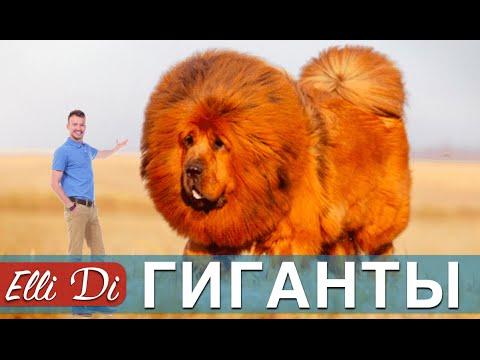 ТОП 10 САМЫХ БОЛЬШИХ ПОРОД СОБАК   ИНТЕРЕСНЫЕ ФАКТЫ   Elli Di Собаки