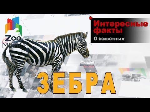 Зебра - Интересные факты о виде | Вид лошади зебра