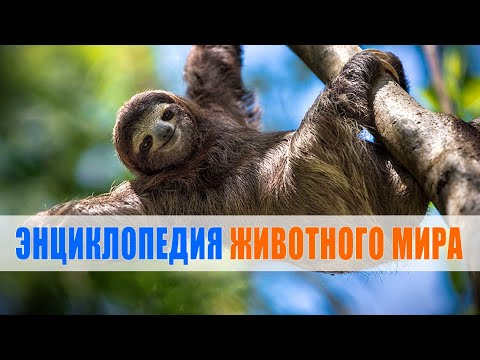 Ленивец   Энциклопедия животного мира