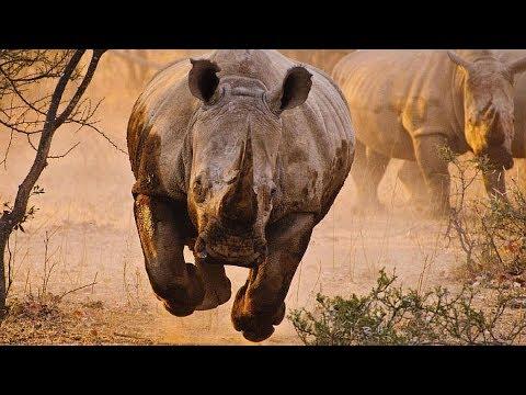 Дикая Африка. Возвращение носорогов. National Geographic.
