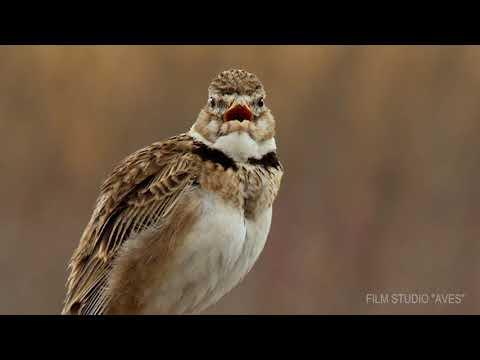 Степной жаворонок (Melanocorypha calandra) | Film Studio Aves
