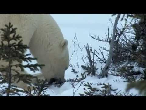 Полярные лисицы в условиях глобального потепления. 2009
