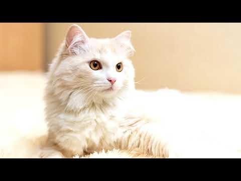 Турецкая #ангора - описание породы ангорских кошек