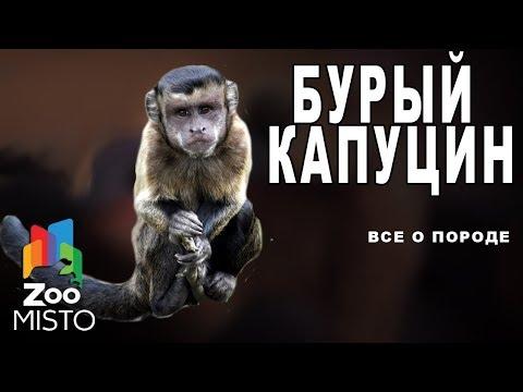 Бурый капуцин - Все о виде приматов | Примат вида - бурый капуцин