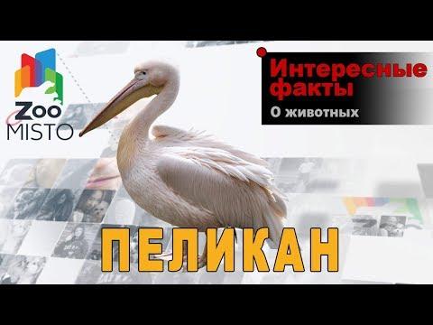 Пеликаны - Интересные факты о роде птиц | Вид птицы пеликаны