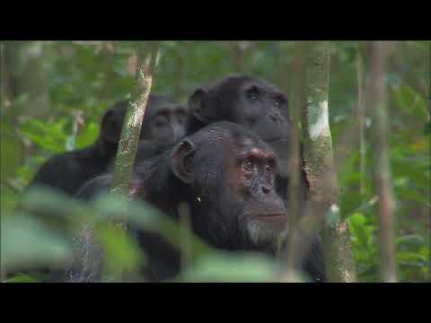 Планета Земля (2006). Война шимпанзе.