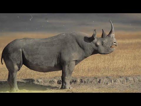 Носорог - интересные факты