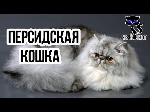 ✔ Персидская кошка: курносый нос в сочетании с круглыми выразительными глазами
