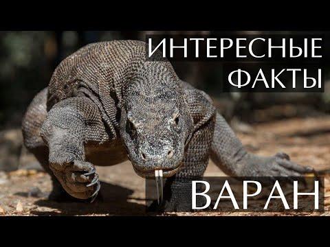 Варан, самая большая ящерица - интересные факты