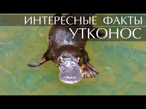 Утконос - интересные факты
