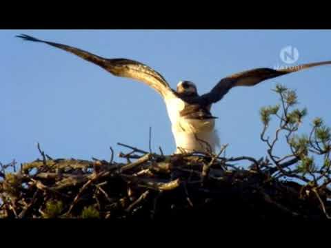Орлан белохвост Птица с золотыми глазами