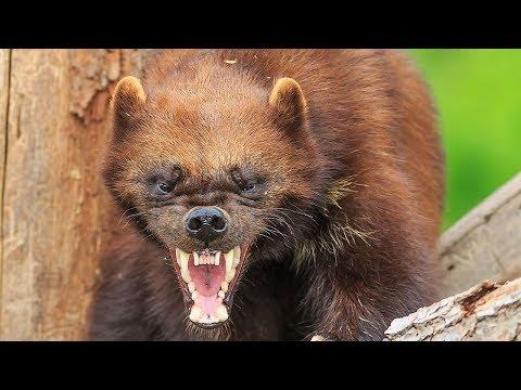 Версус. На что способна росомаха. Её боятся волки и даже медведи!!!
