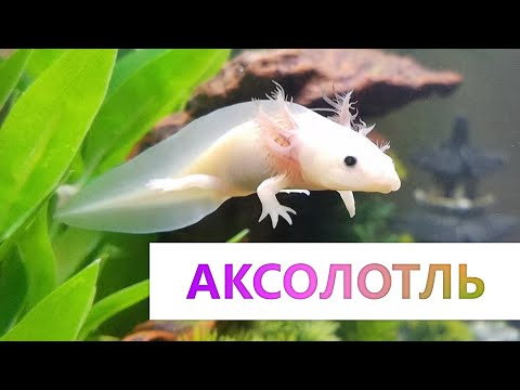 Аксолотль - Содержание и лечение