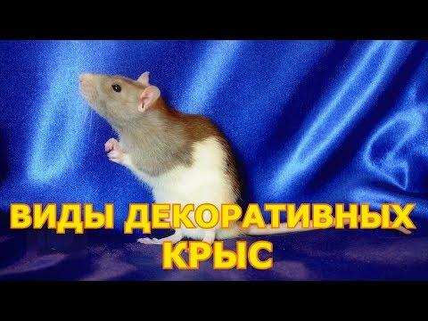 Виды декоративных крыс | Домашние крысы