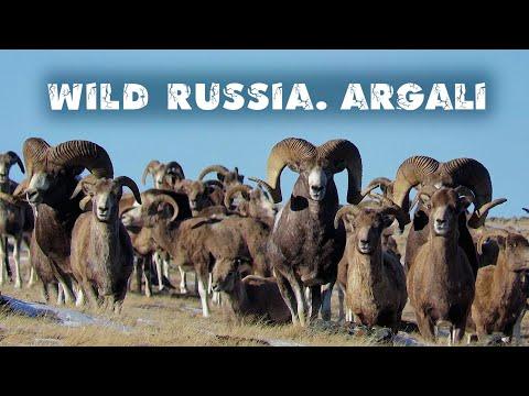 Аргали. Алтайский горный баран - самый крупный баран в мире. Argali. Altai Republic. Siberia.