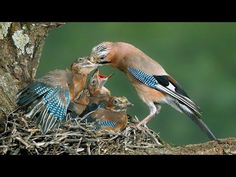 Сойка - Гнездовая жизнь и интересные факты - Птицы России - Фильм 28 (Garrulus glandarius)