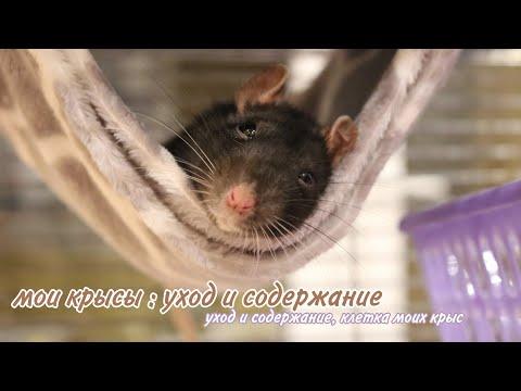 🐾МОИ КРЫСЫ: УХОД И СОДЕРЖАНИЕ ДЕКОРАТИВНЫХ КРЫС🐀 || Что должно быть в клетке у крыс?🌾