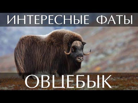Овцебык - интересные факты