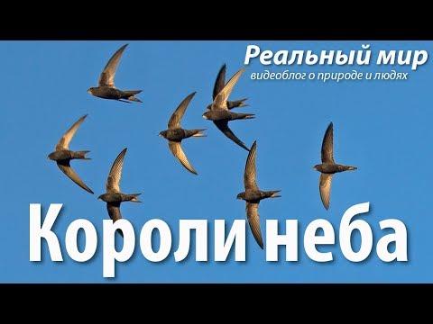 Короли неба. Чёрные стрижи (Apus apus).